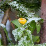Eingeschneite Blüte